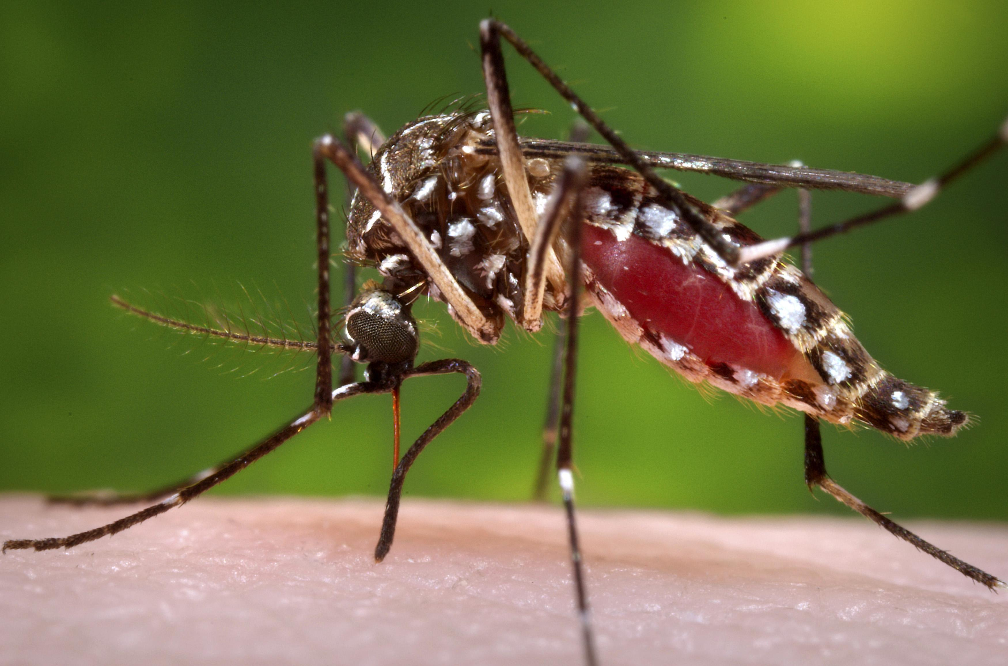 Mosquito aedes aegypti hembra. Foto: Reuters